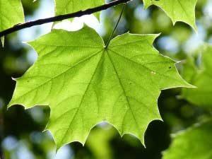 Foto von einem Ahornblatt