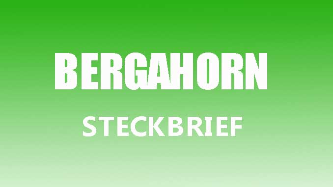 Teaserbild - Bergahorn Steckbrief