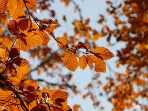 Rotbuche mit Blättern