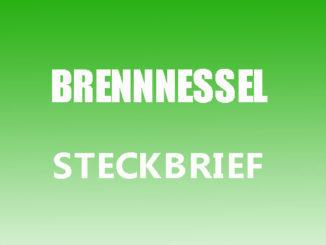 Teaserbild - Brennnessel Steckbrief
