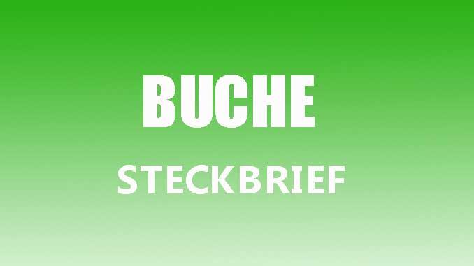 Teaserbild - Buche Steckbrief