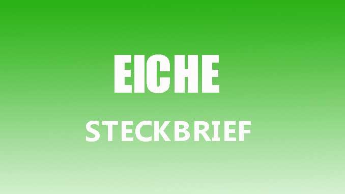Teaserbild - Eiche Steckbrief