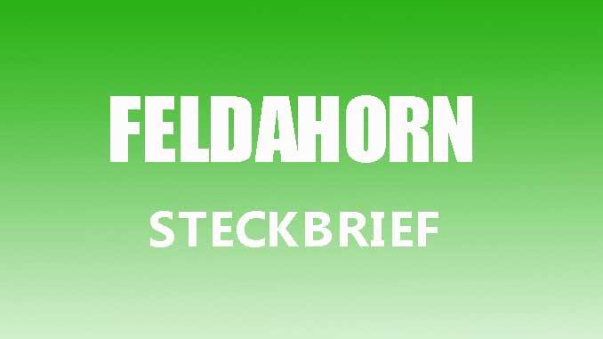 Teaserbild - Feldahorn Steckbrief