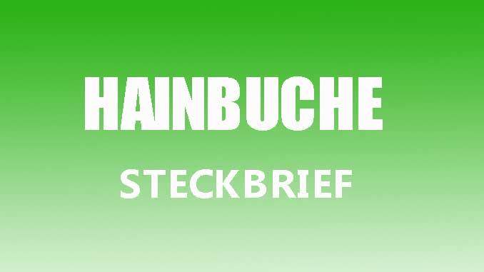 Teaserbild - Hainbuche Steckbrief