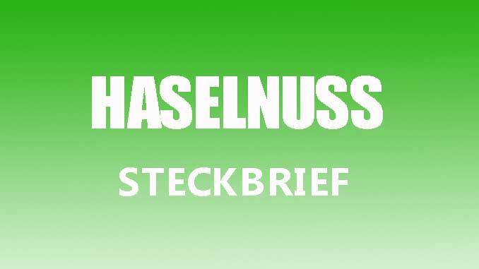 Teaserbild - Haselnuss Steckbrief