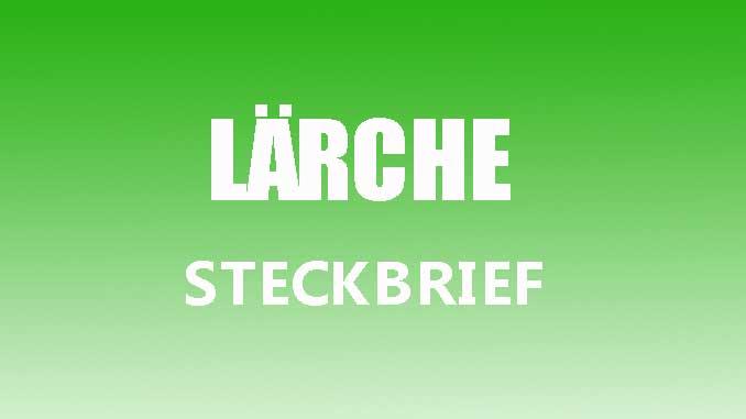 Teaserbild - Lärche Steckbrief