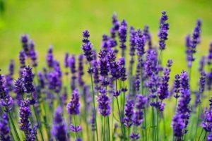 Bild vom Lavendel