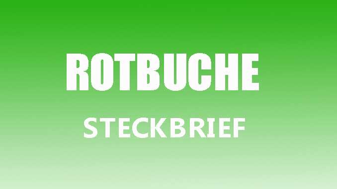 Teaserbild - Rotbuche Steckbrief
