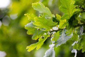 Bild von den Blättern der Stieleiche