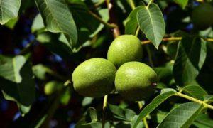 Bild vom Walnussbaum
