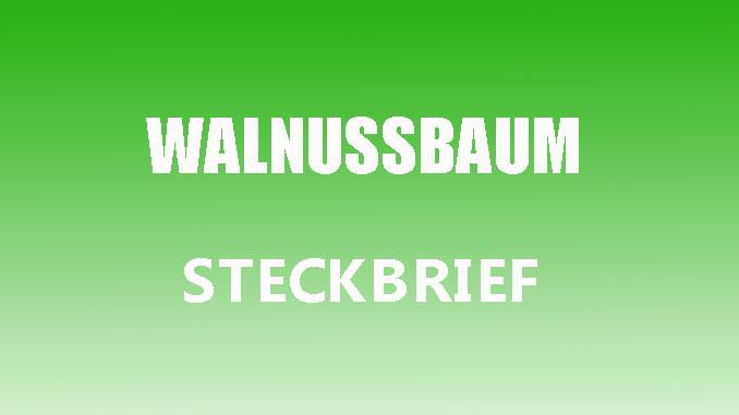 Teaserbild - Walnussbaum Steckbrief