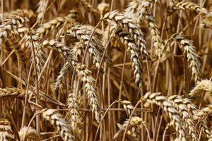 Bild vom Weizen