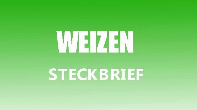 Teaserbild - Weizen Steckbrief