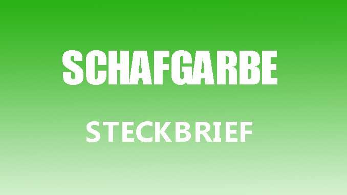 Teaserbild - Schafgarbe Steckbrief