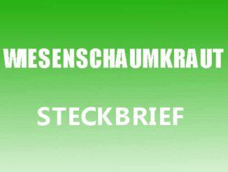 Teaserbild - Wiesenschaumkraut Steckbrief