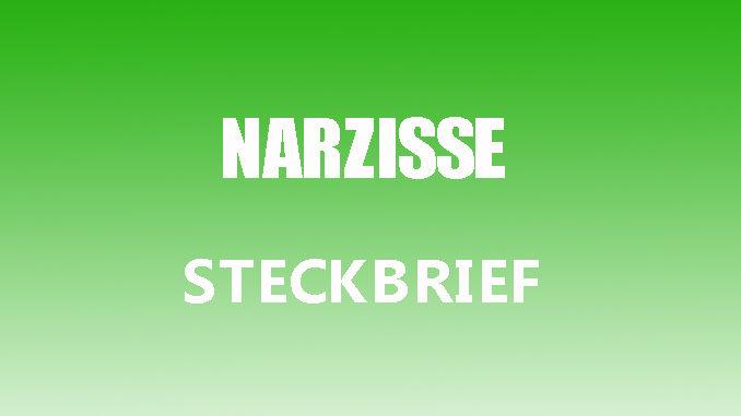 Teaserbild - Narzisse Steckbrief