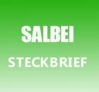 Salbei Steckbrief