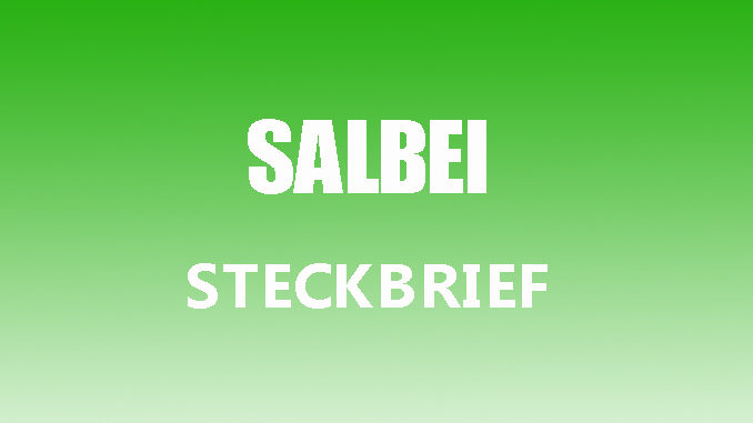 Teaserbild - Salbei Steckbrief