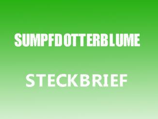 Teaserbild - Sumpfdotterblume Steckbrief