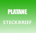 Platane Steckbrief