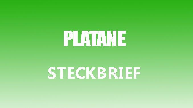 Teaserbild - Platane Steckbrief